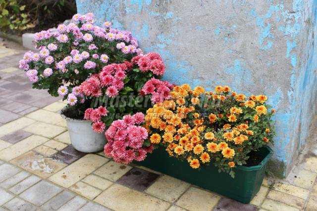 Хризантемы на зиму
