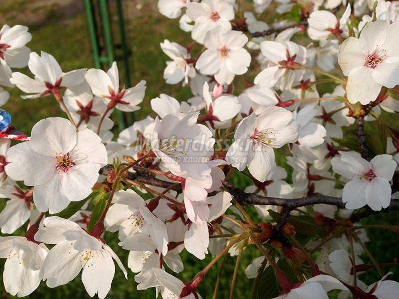 Поза цветы вишня фото