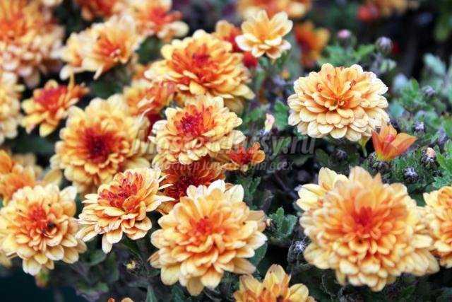 правильный уход и пересадка хризантемы на зиму