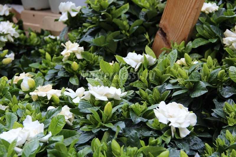 цветы Болгарии фото