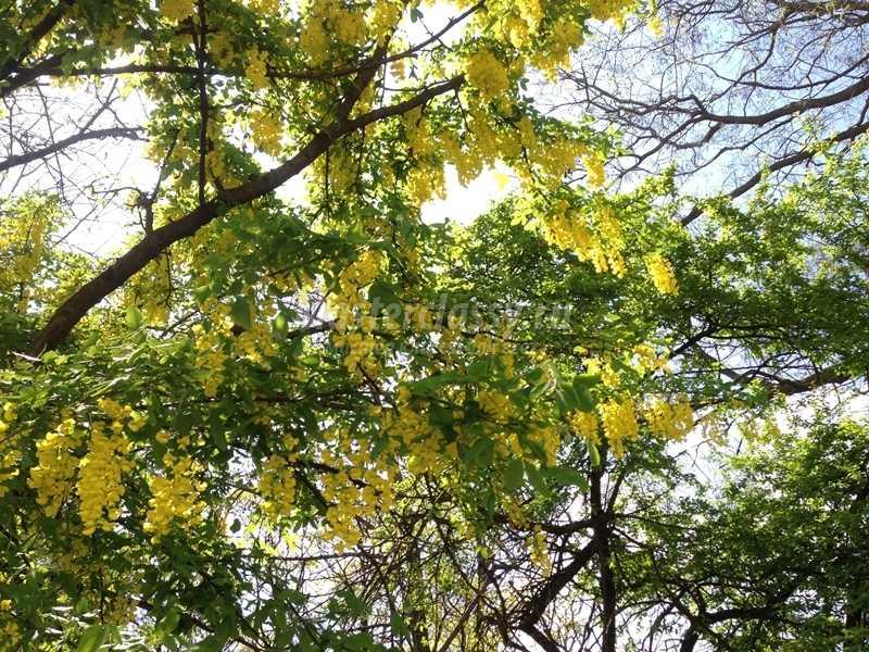 деревья болгарии фото