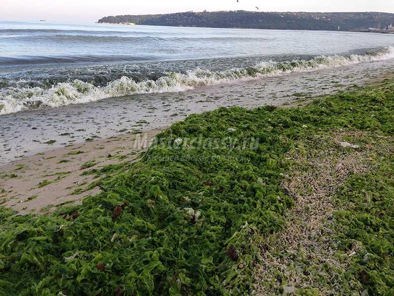 черное море водоросли фото