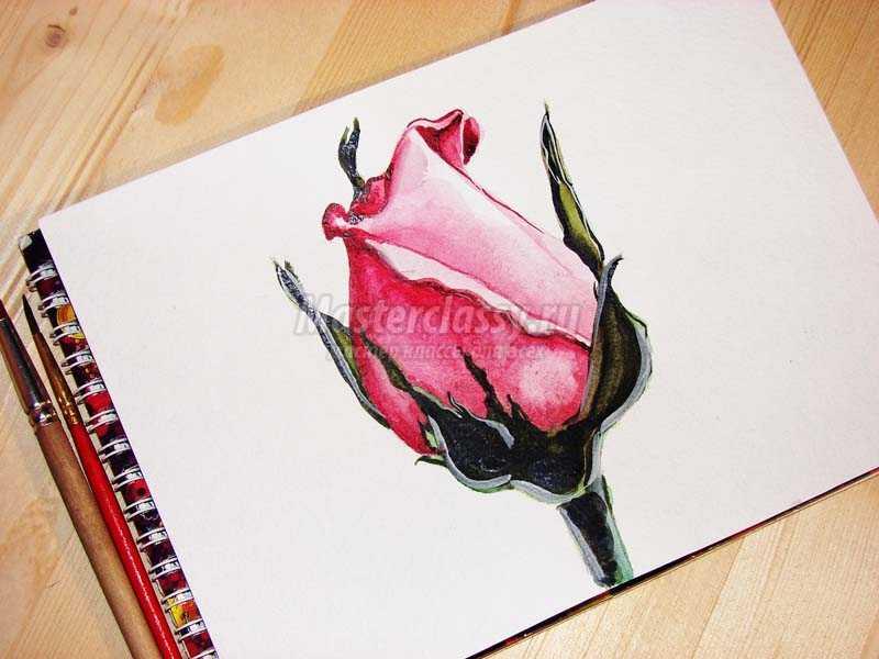 рисунок розы акварелью
